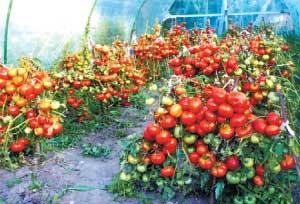 Сорта томатов (северные томаты)