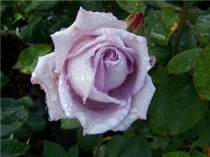 голубая роза из испании
