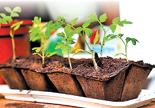rassada pomidorov